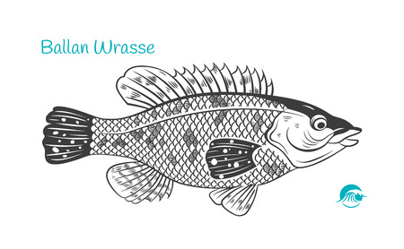 Detailed hand drawn vector black and white illustration of Ballan Wrasse fish