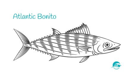 Detailed hand drawn vector black and white illustration of Atlantic Bonito fish