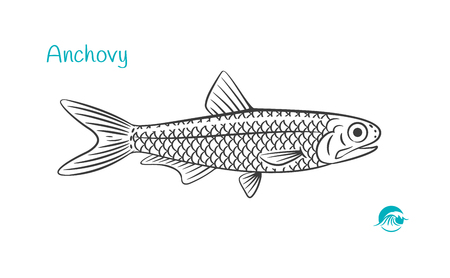 Detailed hand drawn vector black and white illustration of Anchovy fish