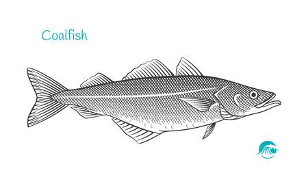 Detailed hand drawn vector black and white illustration of saithe (coalfish, pollock) Illustration
