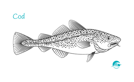 Detailed hand drawn vector black and white illustration of Cod fish  イラスト・ベクター素材