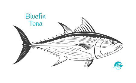 Detailed hand drawn vector black and white illustration of Bluefin Tuna