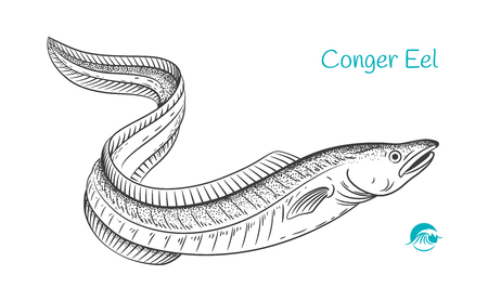 Detailed hand drawn vector black and white illustration of Conger Eel