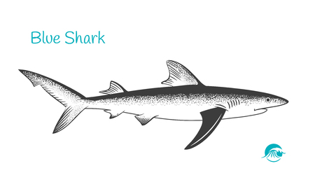 Detailed hand drawn vector black and white illustration of Blue Shark