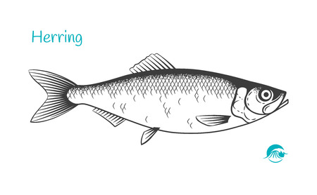 Detailed hand drawn vector black and white illustration of Herring fish