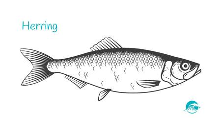 Illustration détaillée de vecteur noir et blanc dessinés à la main de poisson hareng
