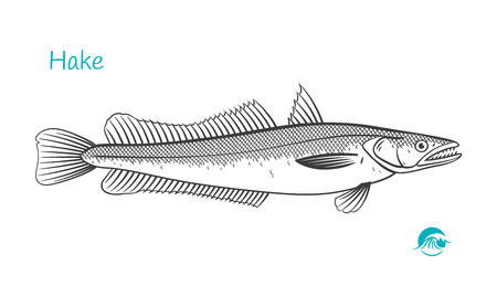Detailed hand drawn vector black and white illustration of Hake fish