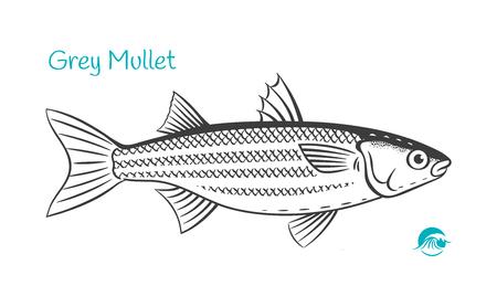 Detailed hand drawn vector black and white illustration of Grey Mullet fish Ilustração
