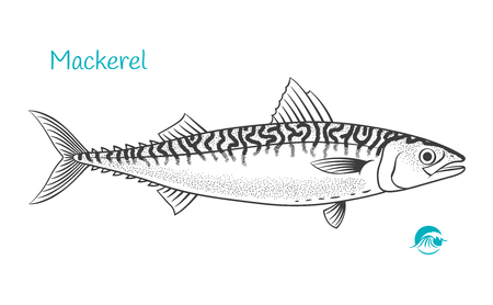 Detailed hand drawn vector black and white illustration of Mackerel fish