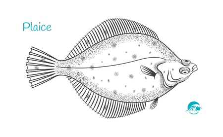 Detailed hand drawn vector black and white illustration of Plaice fish Ilustração