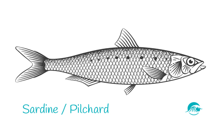 Detailed hand drawn vector black and white illustration of Sardine or Pilchard fish