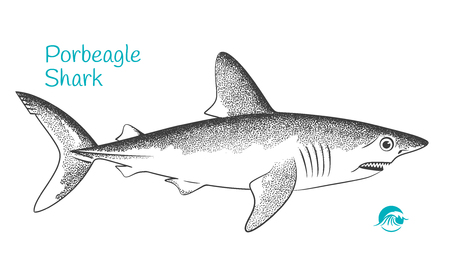 Detailed hand drawn vector black and white illustration of Porbeagle shark