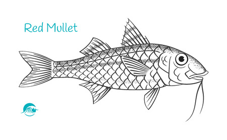 Red Mullet hand-drawn illustration