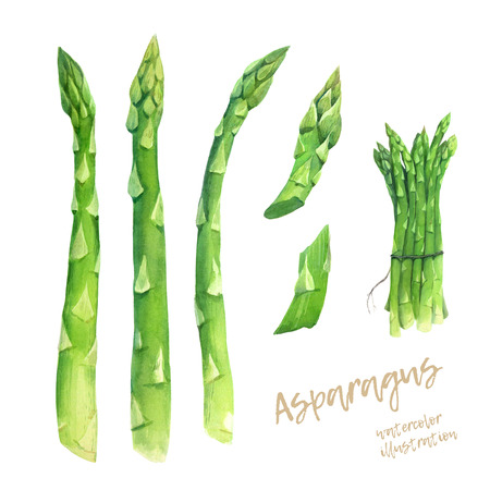 Asparagus watercolour illustration