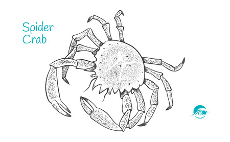 Detailed hand drawn vector black and white illustration of Spider Crab Çizim