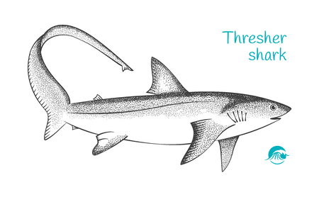 Thresher shark hand-drawn illustration Reklamní fotografie