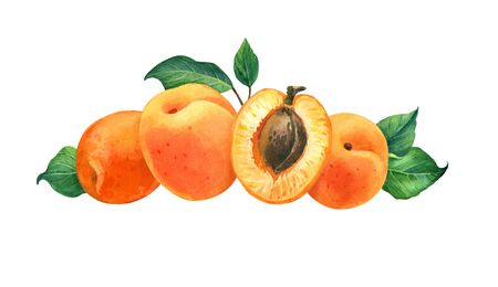 Apricot watercolor illustration