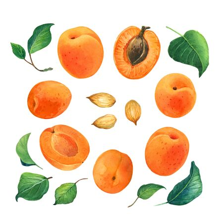 Apricot watercolor illustration