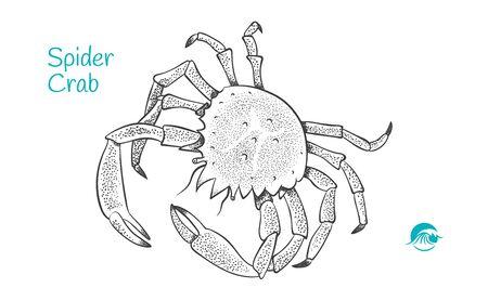 European Spider Crabhand-drawn illustration Ilustração