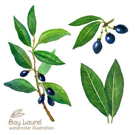 Laurel Bay leaves watercolor illustration