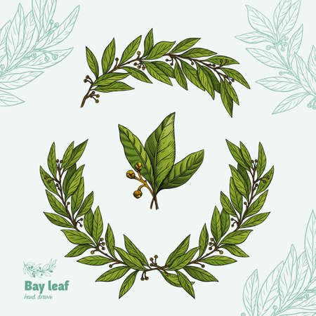 Laurel Bay leaves, branches and fruits isolated detailed hand drawn vector illustration