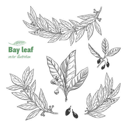Laurel Bay leaves, branches and fruits isolated detailed hand drawn black and white vector illustration Ilustrace