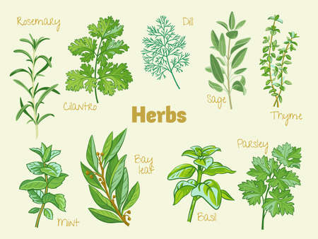 Vector collection of culinary herbs. Rosemary, coriander, cilantro, dill, sage, thyme, mint, bay leaf, laurel, basil, parsley. Colourful vector isolated illustrations.