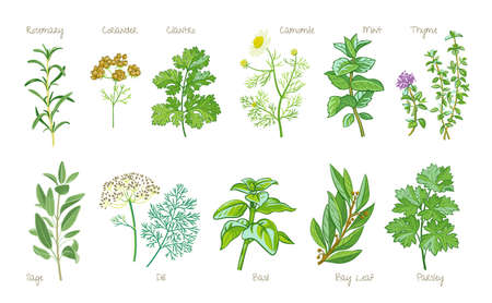 Collection of culinary herbs isolated on white background. Rosemary, coriander, cilantro, camomile, mint, thyme, sage, dill, basil, bay leaf, laurel, parsley.