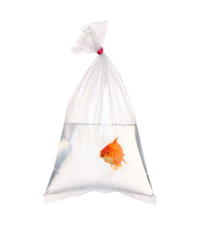 gold fish in the water packet  photo
