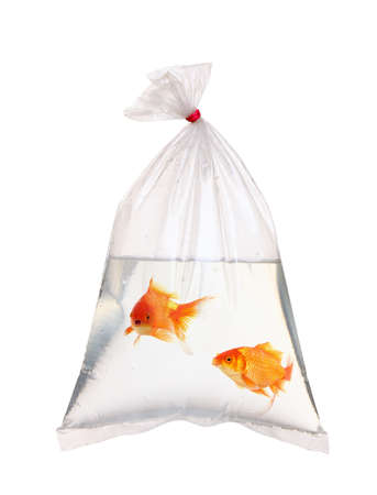 Pair of gold fish in the water packet  photo