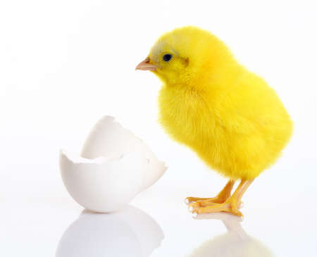 Baby Chick with broken egg. isolated on white  photo