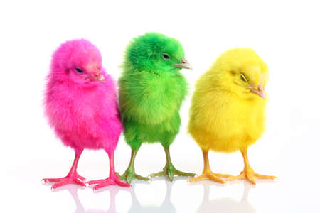 Colorful chicks isolated on white.  Stock Photo