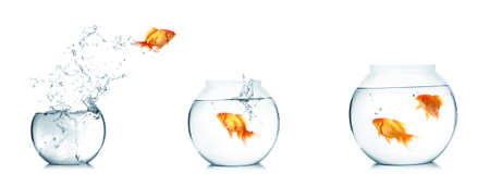 goldfish jump: Gold fish jumping out of water in fishbowl