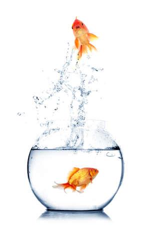 peces de colores: Oro peces que saltan fuera del agua en la pecera