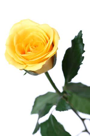 rosas amarillas: rosa amarilla aislada en el fondo blanco