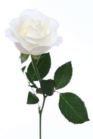 white rose isolated on white background  Stock Photo