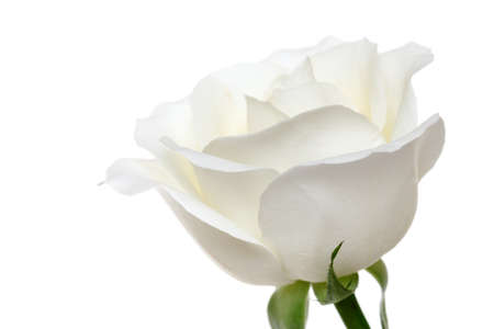 white rose: white rose isolated on white background  Stock Photo