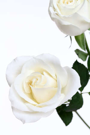 white roses isolated on white background