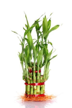 buena suerte: Una planta de bamb� afortunado aislado en un fondo blanco