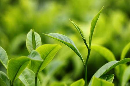 teepflanze: Tea Leaf mit Plantation im Hintergrund