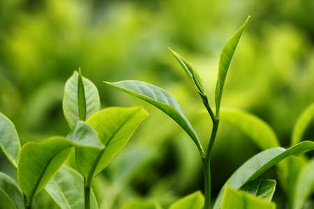 tea estates: Tea Leaf with Plantation in the Background Stock Photo