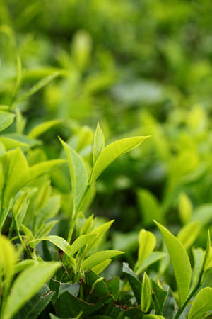 Tea Leaf with Plantation in the Background photo