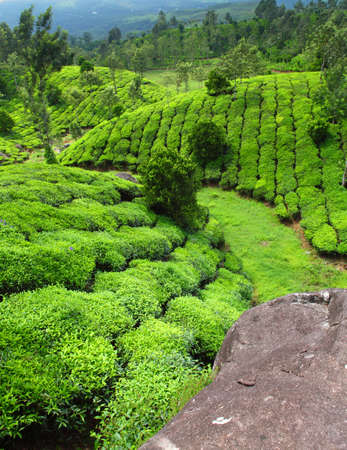 munnar: Tea field in munnar kerala, India