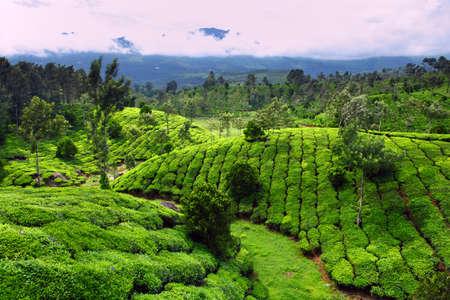 munnar: Tea field in munnar kerala, India  Stock Photo