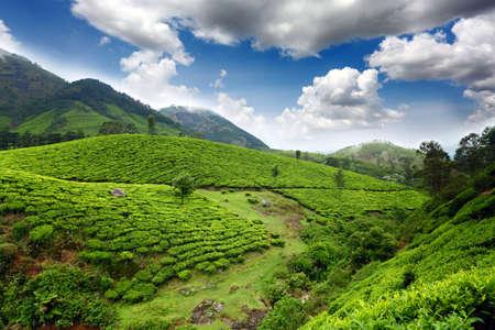 Tea field in munnar kerala, India  Stock Photo