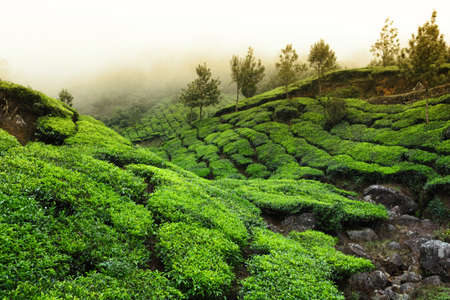 Tea field in munnar kerala, India  photo