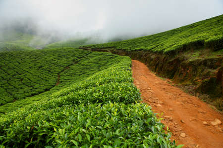 cropland: Tea field in munnar kerala, India  Stock Photo