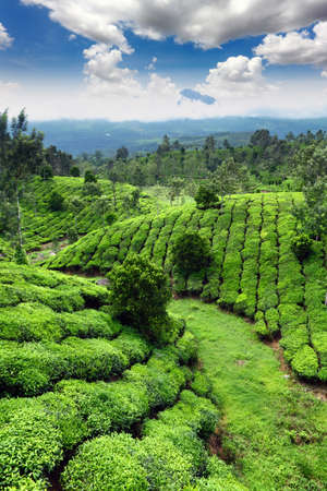 tea estates: Tea field in munnar kerala, India  Stock Photo