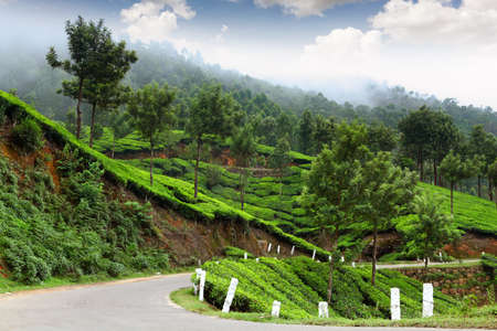 kerala culture: Tea field in munnar kerala, India  Stock Photo