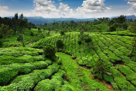 Tea field in munnar kerala, India  photo